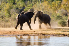 Elephants Fight. At the Waterhole Royalty Free Stock Photo