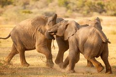 Elephants fight in Africa Stock Image