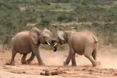 Elephants Fighting Stock Photography