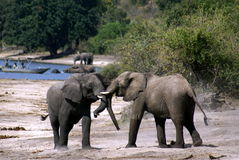 Elephants fighting. Two elephants fighting in a natural reserve in Namibia Stock Photo