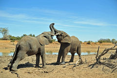 Elephants Fighting Stock Photo