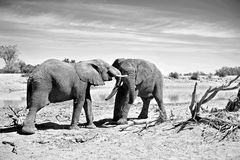 Elephants Fighting Stock Image