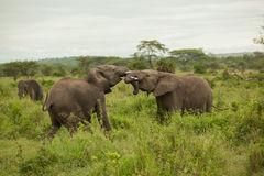Elephants Fighting Stock Images