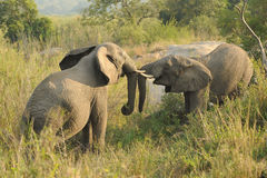 Elephants fighting Stock Image