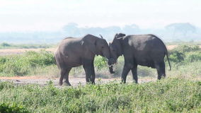 Elephants fighting in Amboseli Park, Kenya. Two male elephants fighting in Amboseli Park, Kenya stock video footage