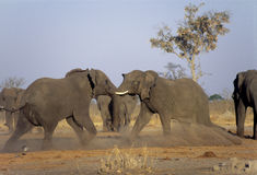 Elephants fighting Royalty Free Stock Images