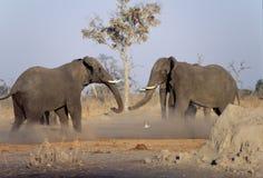 Elephants fighting Stock Photos