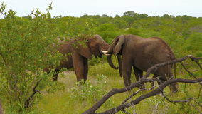 Elephants fighting playfully. Video clip of two elephants fighting playfully in a clearing in the Krugar Wildlife Park in South Africa stock video footage