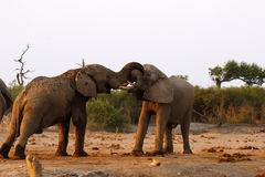 Elephants fighting for the right to mate Stock Images