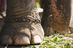 Elephants foot in chains Royalty Free Stock Image