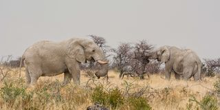 Elephants Foraging. African Elephants foraging in the bush in Namibian savanna Stock Images