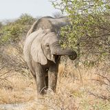 Elephants Foraging. African Elephants foraging in the bush in Namibian savanna Royalty Free Stock Photos