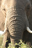 Elephants forehead Royalty Free Stock Photography
