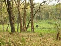 Elephants in Forest Royalty Free Stock Photography