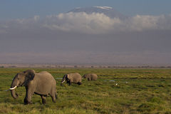Elephants in front of the Kilimanjaro Royalty Free Stock Image
