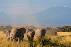 Elephants in front of Kilimanjaro. Mountain - Amboseli National Park, Kenya Royalty Free Stock Photography