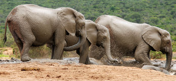 Elephants fun and games in watering place Royalty Free Stock Images