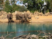 Herd of Elephants next to a watering hole drinking and observing stock photo
