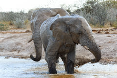 Elephants getting muddy Stock Image