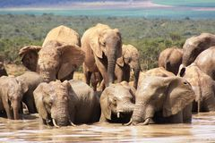 Elephants getting wet and muddy. A group of  elephants with a blue sky background around and in a waterhole getting all muddy and wet to protect themselves from Royalty Free Stock Image