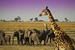 Elephants and Giraffe Royalty Free Stock Images