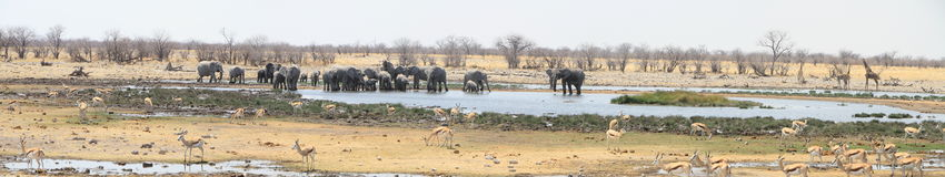 Elephants, giraffes and springboks panorama. Elephants, giraffes and springboks at a water place in etosha national park panorama Stock Photography