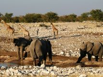 Elephants and Giraffes at water hole Stock Image