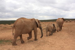 Elephants going to water. A few elephants going to get a drink from a local waterhole Stock Photography