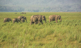 Elephants in grassland of dikala Royalty Free Stock Photos