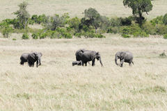 Elephants in the grassland of Masai Mara Stock Image