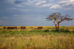 Elephants on the grasslands of Africa Royalty Free Stock Photo