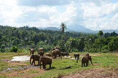Elephants graze in Sri Lanka Stock Photo