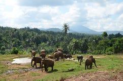 Elephants graze in Sri Lanka. 2014 Stock Photo