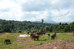 Elephants graze in Sri Lanka. 2014 Stock Image