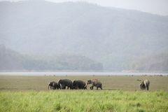 Elephants grazing in the beautiful grassland of Dhikala Royalty Free Stock Photos