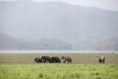 Elephants grazing in the beautiful grassland of Dhikala Royalty Free Stock Photos
