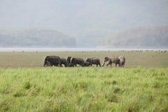 Elephants grazing in the grassland of Dhikala Stock Image