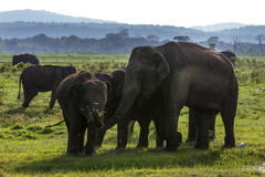Elephants grazing at Kaudulla National Park in the late afternoon. Stock Images