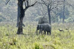 Elephants grazing in a park. Indian elephants grazing at manas national park stock photography