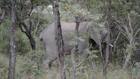 Elephants grazing in the wild stock footage