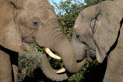 Elephants greeting Stock Photo