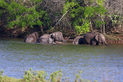 Elephants. Group of elephants  are bathing in the river Royalty Free Stock Image