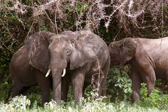 Elephants. Group eat acacia leaves Royalty Free Stock Images