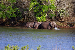 Elephants. Group of elephants are happily bathing in a river Royalty Free Stock Images