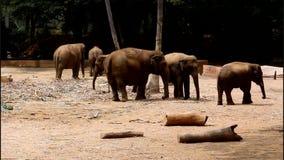 Elephants stock video