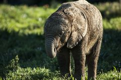 Baby elephant trying to figure out his trunk. Elephants have about 40 000 muscles in their trunk, it does take the baby some time to figure out how to use it, on Royalty Free Stock Image