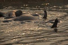 Elephants having a bath. Royalty Free Stock Photography