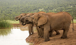 Elephants having a drink break at waterhole Stock Photos