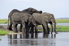 Elephants having a drink at the Chobe River Stock Photo