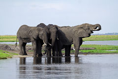 Elephants having a drink at the Chobe River Royalty Free Stock Photos